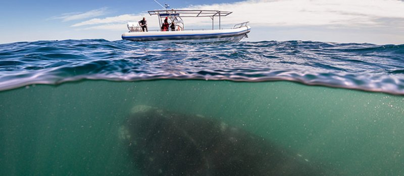 Southern right whale seen under a whale-watching boat in Peninsula Valdes Argentina Photograph - Justin Hofman-Barcroft Media.jpg